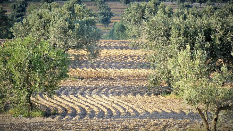 Tunisia Olive Oil Field